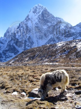 A yak grazes at high altitude along the trail to Mt Everest Base Camp, Nepal
