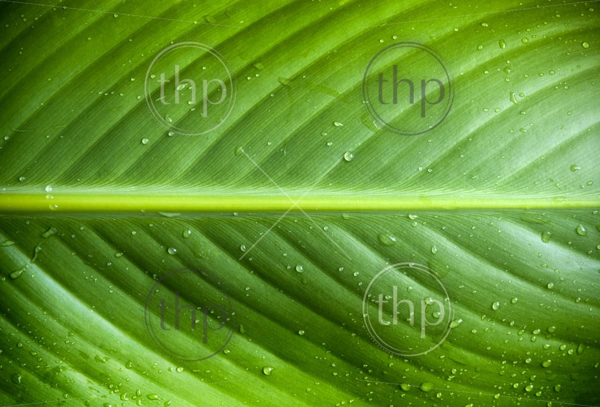 Beautiful detail of large fresh leaf with water droplets