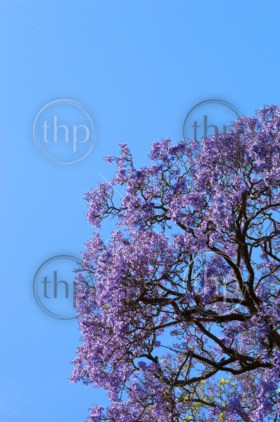 Beautiful Jacaranda trees in full bloom against a blue sky