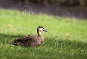Pacific black duck in lush green grass