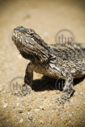 Australian Bearded Dragon (Pogona vitticeps) basks in the sun