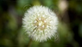 Perfect dandelion flower against a blurred green background