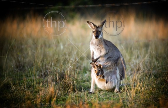 Australian kangaroo with a joey in its pouch at sunset