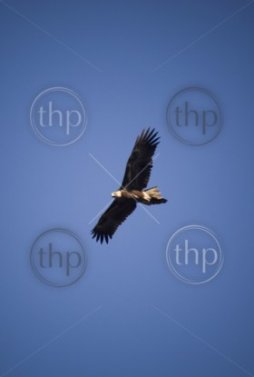 Wedge-tailed eagle in full flight on blue sky