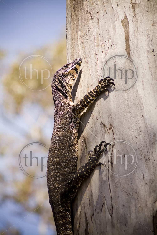 Australian Goanna (monitor lizard) clings to the side of a tree