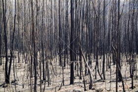 Aftermath of a bush fire, dead and blackened trees standing in ash