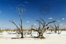 Dead tree trunks and limbs on a white salt lake under blue sky