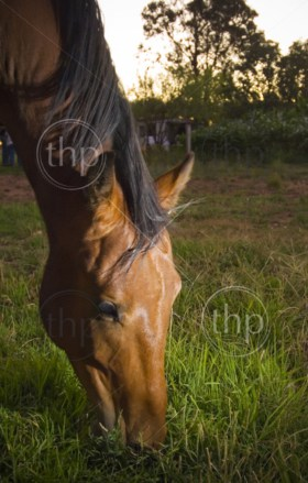 Farm horse grazing in late afternoon light