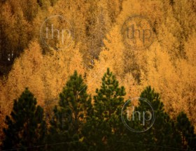 Autumn colours are a display of yellow, green, orange and brown in the pine forests