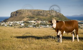 A cow grazes on a hilside of quaint Stanley, with local attraction The Nut looming above