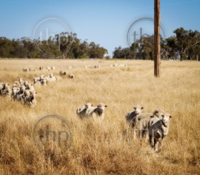 Sheep roam the large paddocks in rural Australia