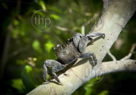 Crab sits on a branch in the mangrove swamp