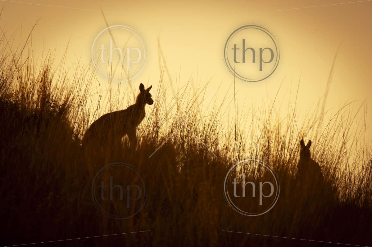 Australian Kangaroo's silhouetted at sunset in the wild