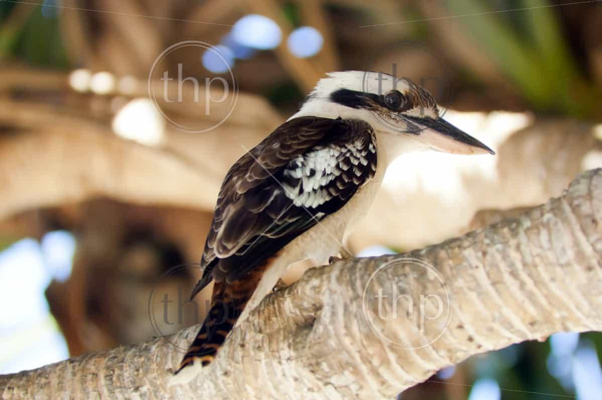 Australian Kookaburra bird, classic Australian icon