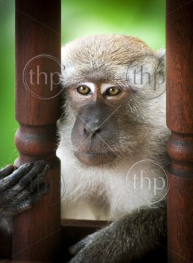 Monkey (Long-Tailed Macaque) in the wild having fun