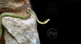A brightly coloured Paradise Snake on rocks