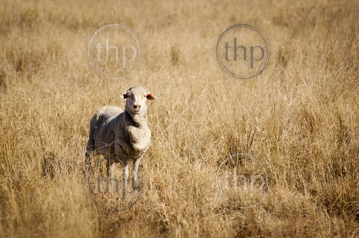 Sheep in long dry grass in rural Australia