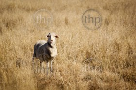 Sheep in long dry grass in rural Australia