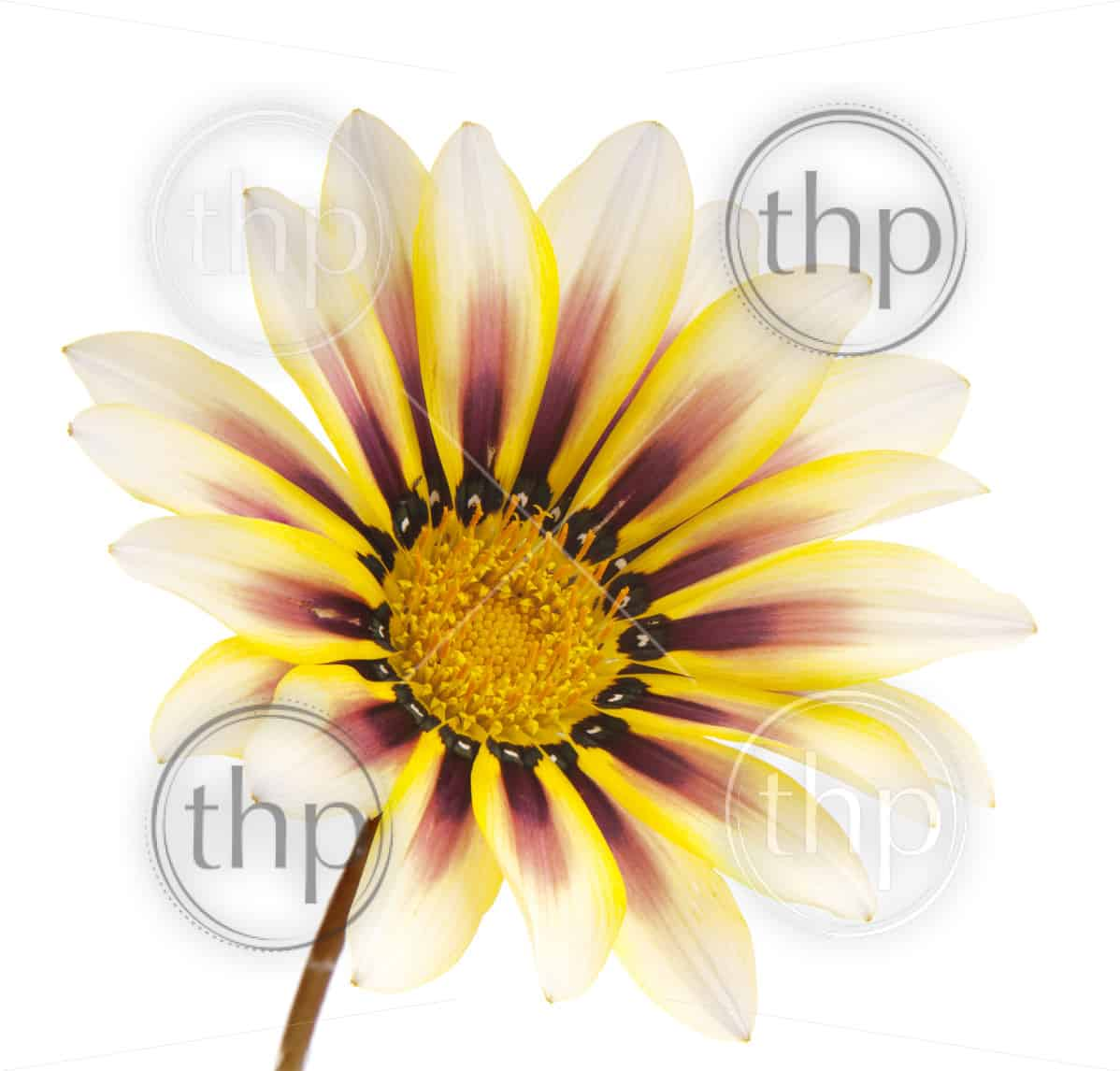 Wildflower with yellow highlights isolated on white