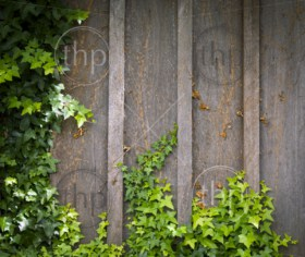 Ivy growing on wooden wall creates a frame with room for text