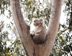 Koala bear in the wild in gum trees in Australia
