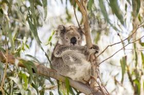 Koala bear in the wild in gum trees in Australia