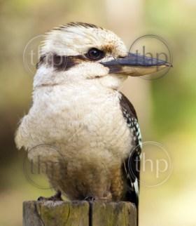 Kookaburra, native Australian bird in the wild close up