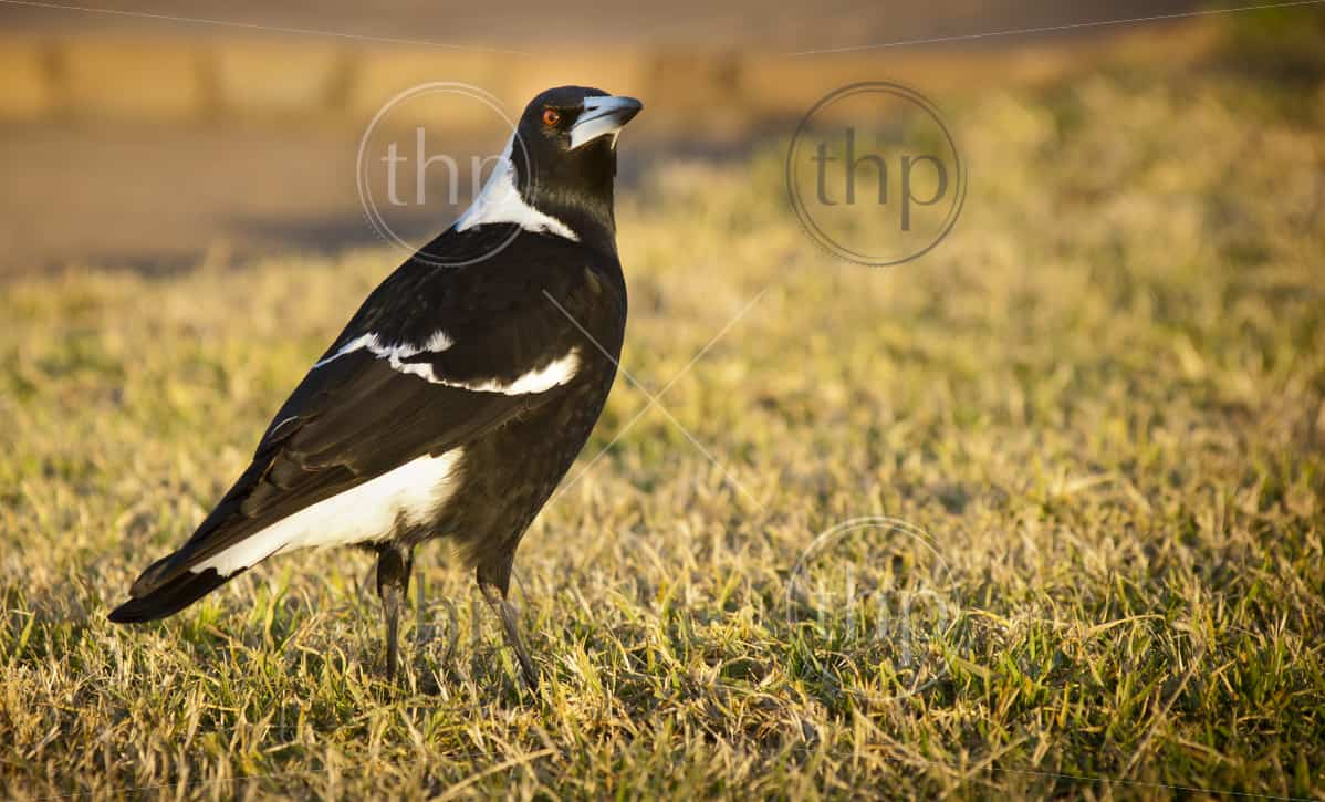 Classic Australian bird the magpie on lawn