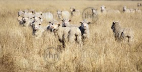 Sheep appear to be smiling as they flock together in long grass in rural Australia