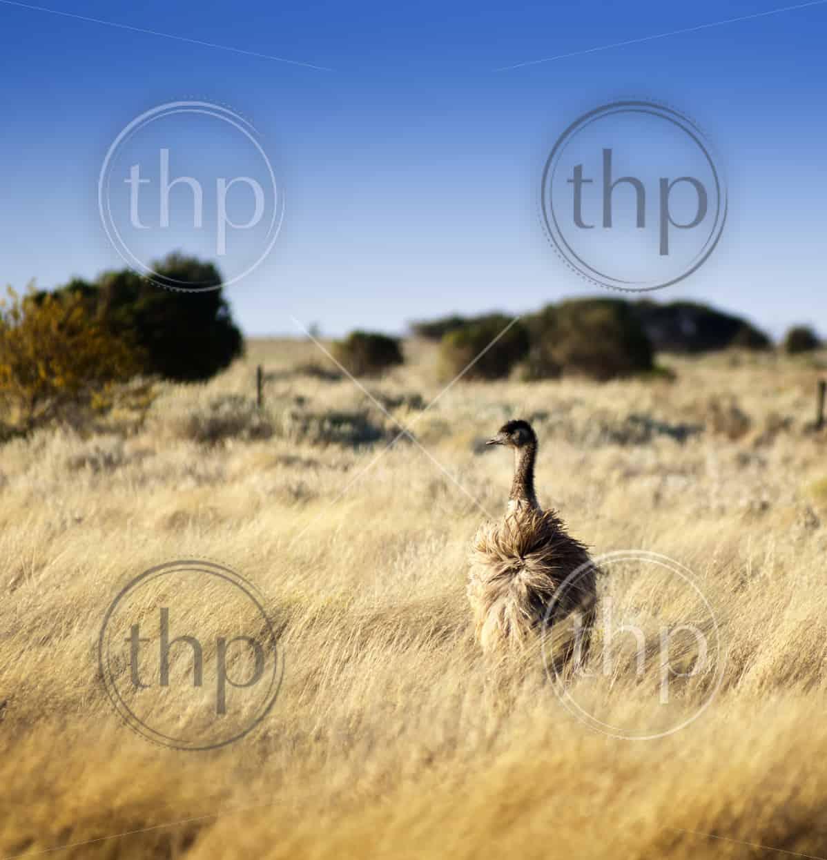 Emu in the wild of outback Australia