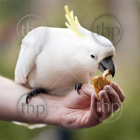 Hand feeding a sulphur crested cockatoo in Australia