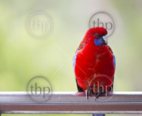 Australian native Rosella parrot in the wild in bright red and blue