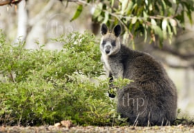 Wild Australian native Wallaby in the Grampians region of Victoria