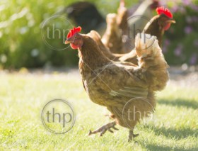 Free range chickens roam the yard on a small farm
