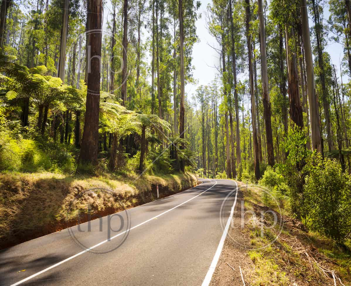 Towering trees and tree ferns in the forest along the Black Spur in the Yarra Valley, Victoria, Australia