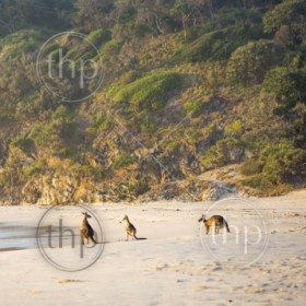 Australian native Kangaroo family gather on the beach at dawn on Stradbroke Island
