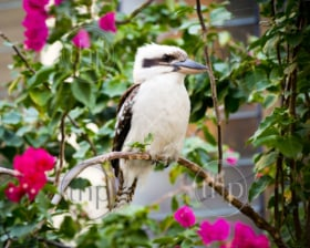Australian native Kookaburra perched on a branch