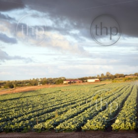 Fresh green lettuce growing in rows in a lettuce farm