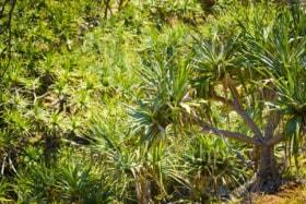 Pandanus palm trees populate North Stradbroke Island, Australia