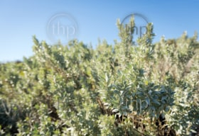 Saltbush, atriplex or orache as it's sometimes known is a common bush in Australia's desert areas