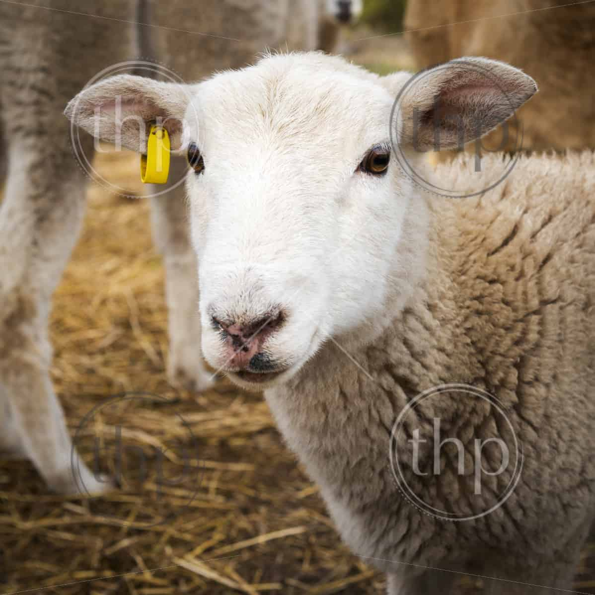 Cute young lamb with clean white face looking into camera