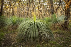 Australian landscape of grass trees in South Australia's Deep Creek Conservation Park