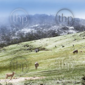 Sheep in fields during winter with a fresh dusting of snow on the mountains