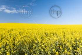 Golden flowering canola field under a blue sky before harvest