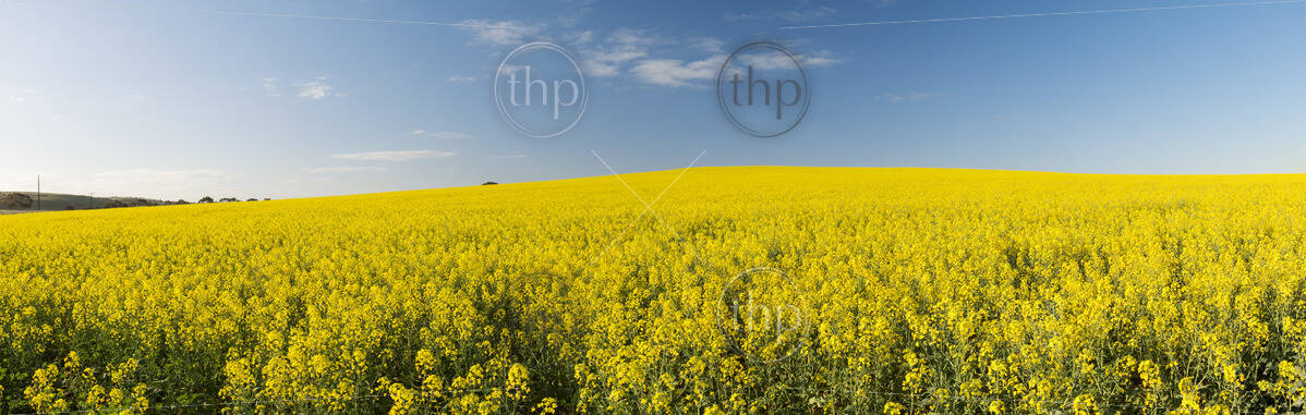 Golden flowering canola field under a blue sky before harvest in panorama
