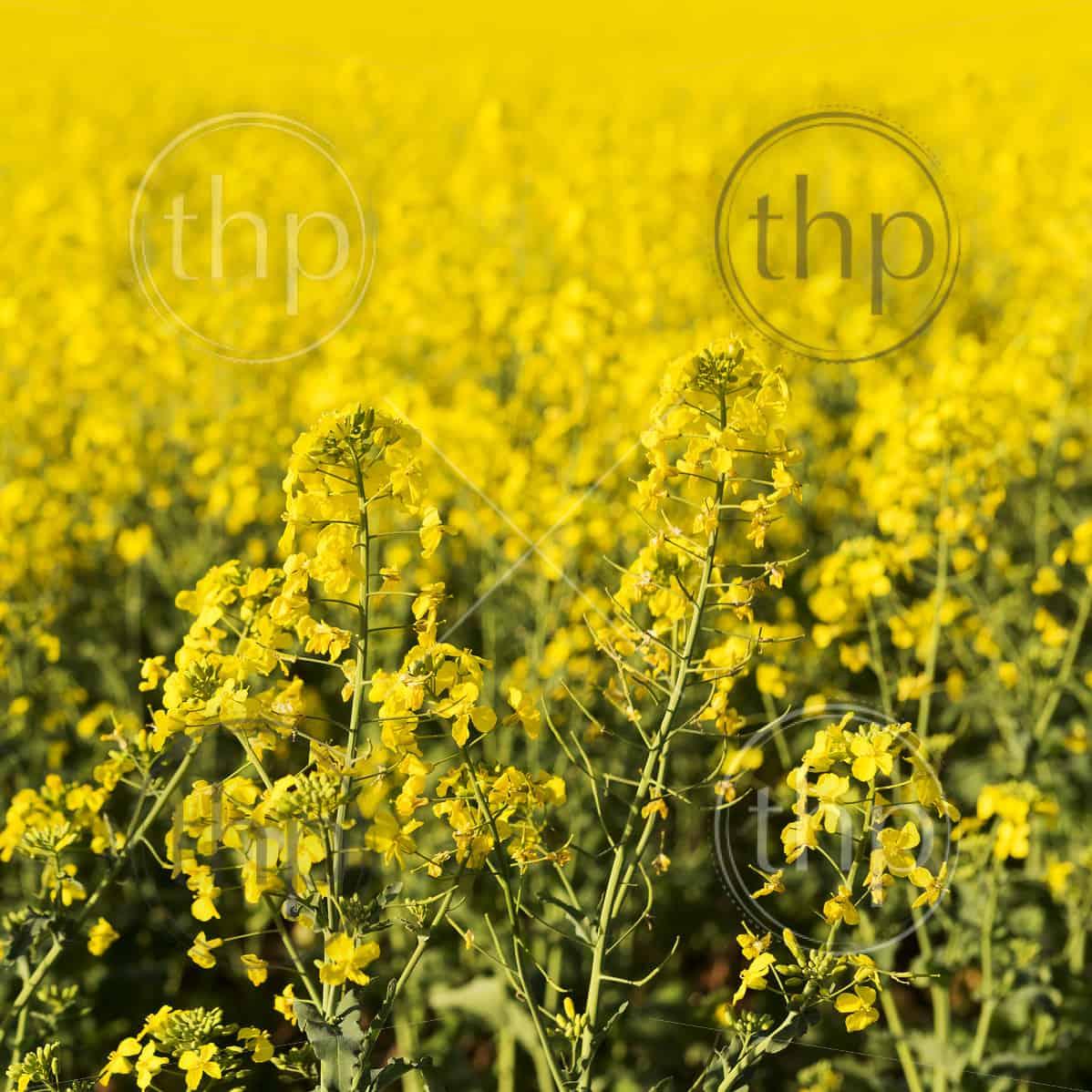 Golden flowers of the canola plant before harvest