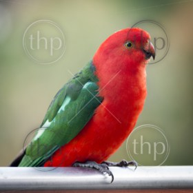 Male Australian King Parrot bird with vibrant colours looking curious