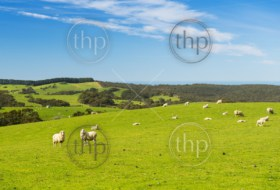 Sheep and lambs in the field at spring time under bright blue sky