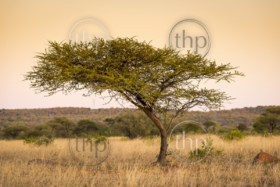 Large classic Acacia tree in Botswana, Africa at sunset