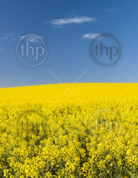 Rapeseed field with golden yellow flowers before harvest
